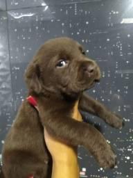 Labrador lindos filhotes com 45 a 60 dias