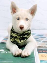 Husky Siberiano todos pedigree e suporte veterinário