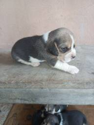 Título do anúncio: Vendo filhote beagle
