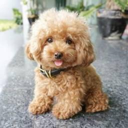 Título do anúncio: Poodle toy, fêmeas e machinhos já vacinados, vermifugados e com garantias em contrato.