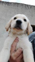 Labrador macho com pedigree
