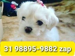 Título do anúncio: Cães Filhotes Incríveis BH Maltês Yorkshire Basset Shihtzu Beagle Lhasa