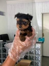 Yorkshire Terrier tamanhos micro e padrão