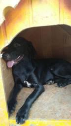 Linda Labradora preta 7 meses