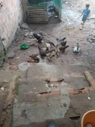 Vendo galinha pinto e franguinho de Quintal