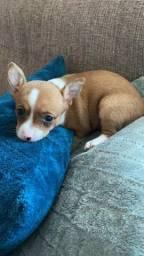 Chihuahua Macho Pelo Curto