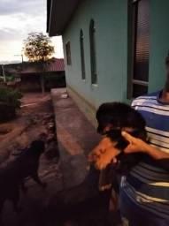 Cachorro rottweiler