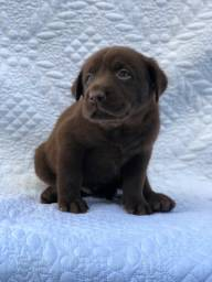 Labrador com pedigree