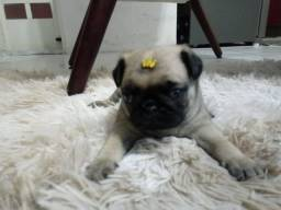Machinho de Pug