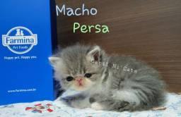 Macho persa com pedigree liberado