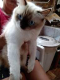 Gato perça com siamês