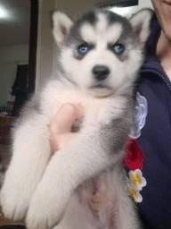 Doação de Husky Siberiano