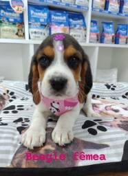 Linda bebê Beagle Fêmea