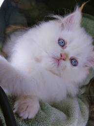 Gato persa Fêmea branca