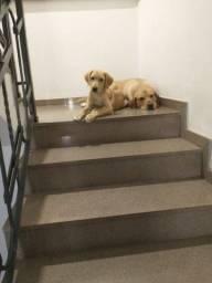 Título do anúncio: Filhote de Labrador (fêmea)