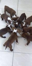 Título do anúncio: Filhotes de pitbull rednose com 30 dias de nascido