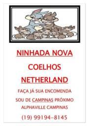 lindos coelhos netherland para pascoa retirada 31/03/21