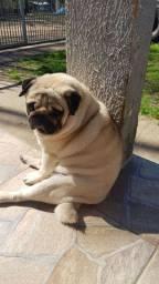 Macho pug adulto (com pedigree cbkc)