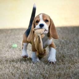 Título do anúncio: Beagle fêmeas e machinhos com garantias em contrato!!