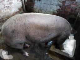 Porco para o abate, 200 kilos aproximadamente, venha conferir!