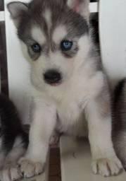 Filhotes de huskys siberiano(2 machos) disponível