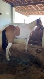 Vendo égua mansa 3,500
