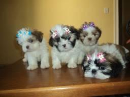 Promoção filhotes de Shihtzu fofos e lindos !!