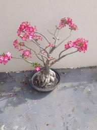 Título do anúncio: Vende-se essas linda Rosa do deserto