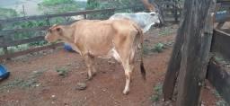 Título do anúncio: Vaca leiteira top