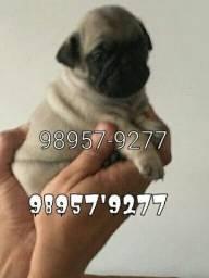 Título do anúncio: Pug com pedigree