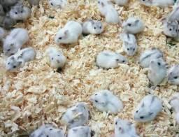Anão Russo (Hamsters)