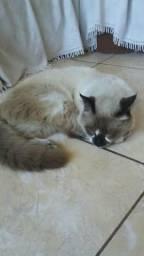 Doação de um gato siamês