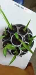 Planta Pita, Piteira ou Agave