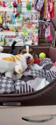 Beagle filhotes tricolor aqui no pet Gold Dog