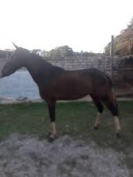 Vendo cavalo 3199851.8696 Gustavo