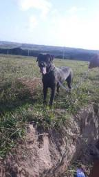 Cachorro labrador 400 reais