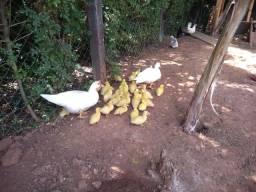 Patinhos brancos