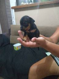 Filhotes de cachorro Pinscher n0