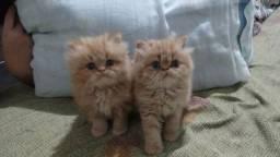 Gato persa macho cor red creme
