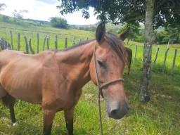 Égua boa de trabalho começando a dona agora , égua nova com 5 anos de idade