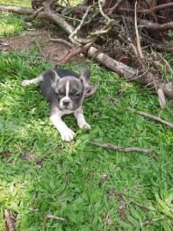 Fofinho Bulldog Francês Cinza e Branco
