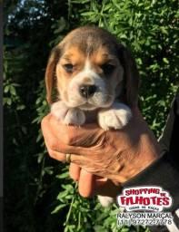Beagle mini, tricolor, o filhote para sua família está aqui (11)972-7277.78