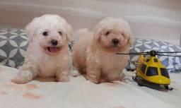 Filhotes de poodle toy machos