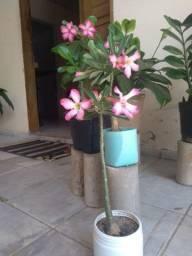 Flores do deserto