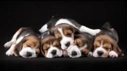 Título do anúncio: Lindas fêmeas de beagle