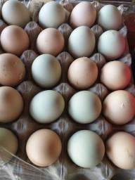 Ovos Galados de Galinhas Brahma