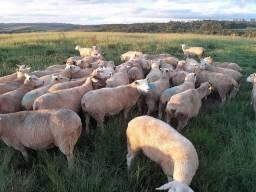 Vende se ovelhas, borregas e cordeiras