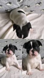 Título do anúncio: Filhotes de bulldog francês fêmeas