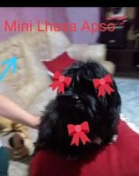 Lhasa mini machinho