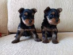 Título do anúncio: Yorkshire Terrier- Filhotes Machos Disponíveis